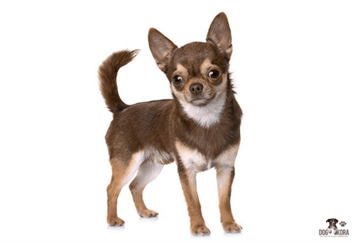chihuahua foods to avoid Page navigation