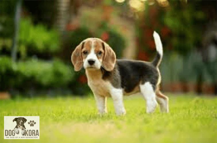 Beagle Breed Characteristics