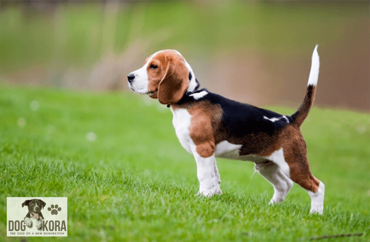 Common Health Problems Of Beagle