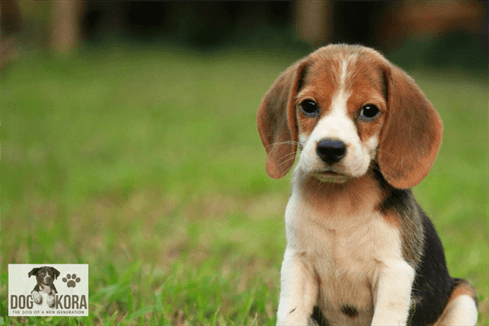 Life Span Of Beagle