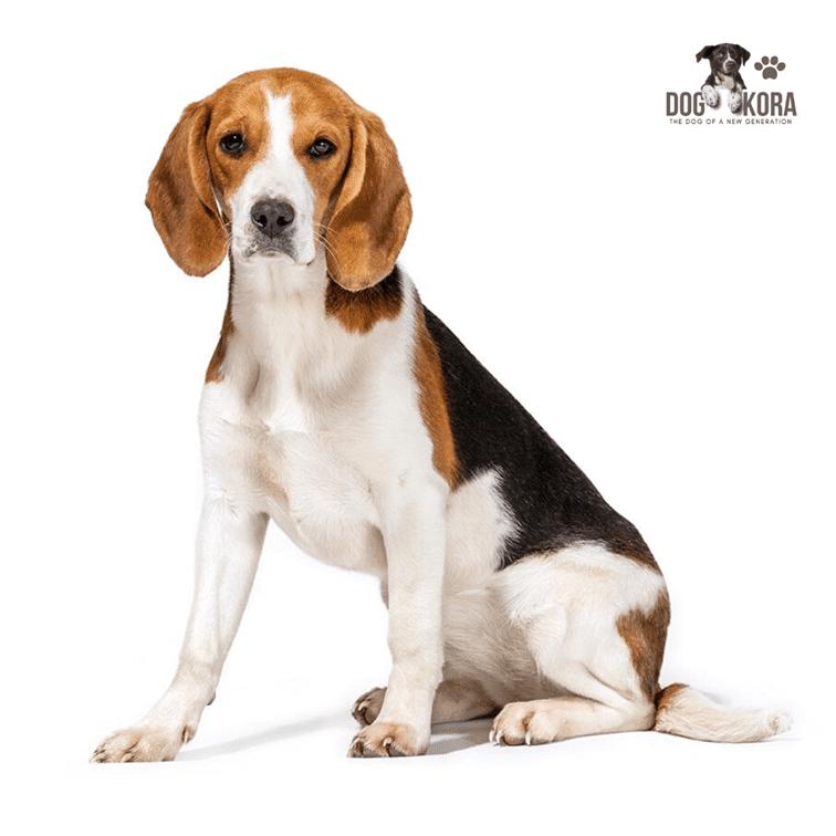 Size of Beagle